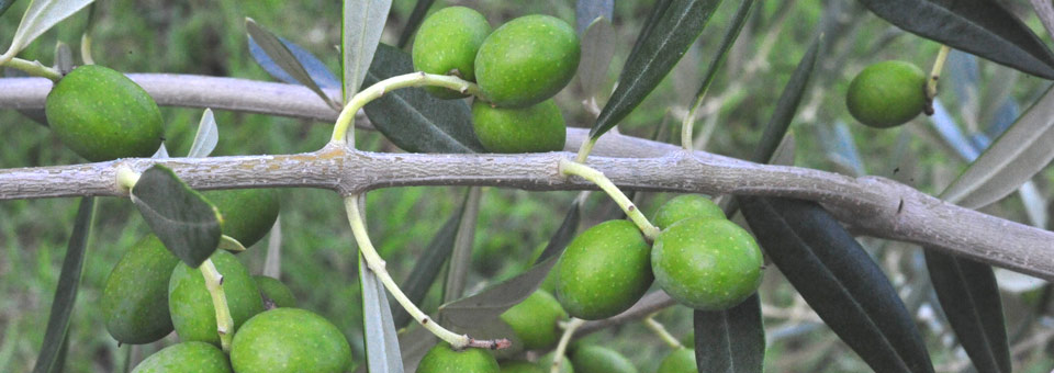 Rivendale Olives